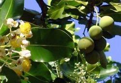 ZSK Naturalny olej tamanu (antybakteryjny) 15 ml