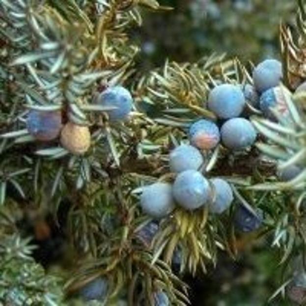 ZSK Hydrolat jałowcowy z jagód - bez konserwantów (antybakteryjny) 200ml